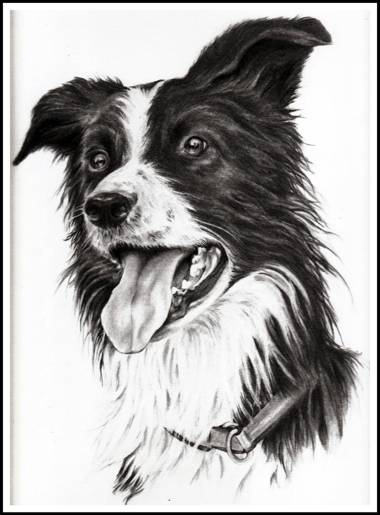 Trym the border collie by Adniv