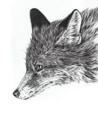 Fox by Adniv