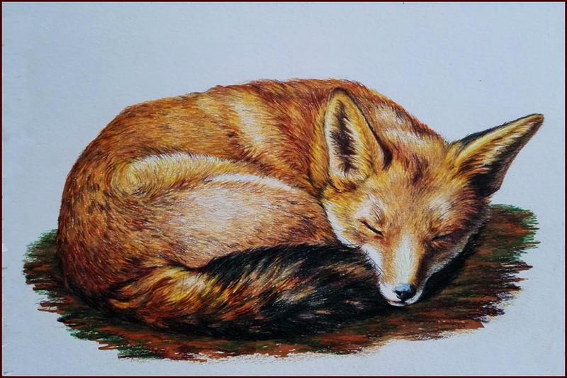 red fox by Adniv