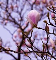 Magnolia series I