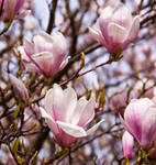 Magnolia series IV by Bozack