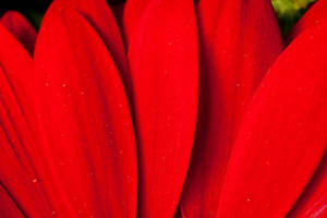 Red petals I by Bozack