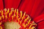 Red petals V