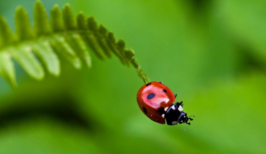 Mariquitas ( insecto ) Tiernas HD ^^ - Taringa!