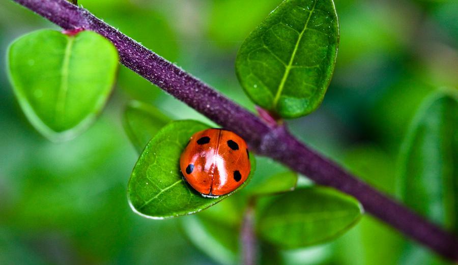 Ladybug IV by Bozack