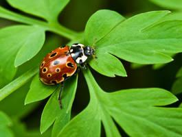 Ladybug V by Bozack