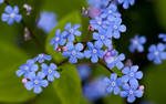 Forget me not I