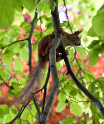 Red squirrel III by Bozack