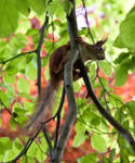 Red squirrel III