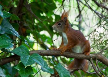 Red squirrel V by Bozack