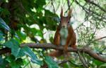 Red squirrel VI by Bozack