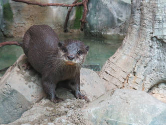 Jungle Otter by SilviaTheCaralioness