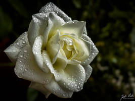 Droplets on the Rose by kuba2202