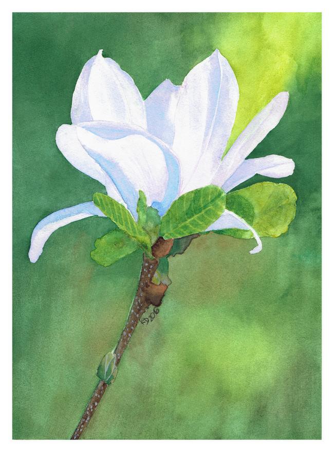 Magnolia by steel--blue