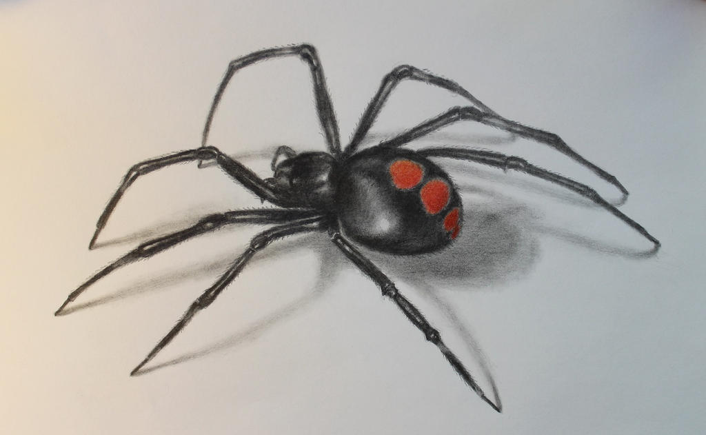 Juvenile Black Widow Spider Drawing In Pencil By Artworkings