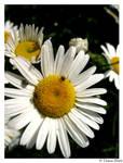 little bugs on daisy