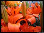 orange lillys I