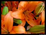 orange lillys II
