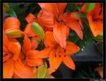 orange lillys III
