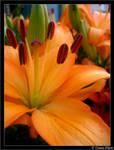 beautiful orange lilly