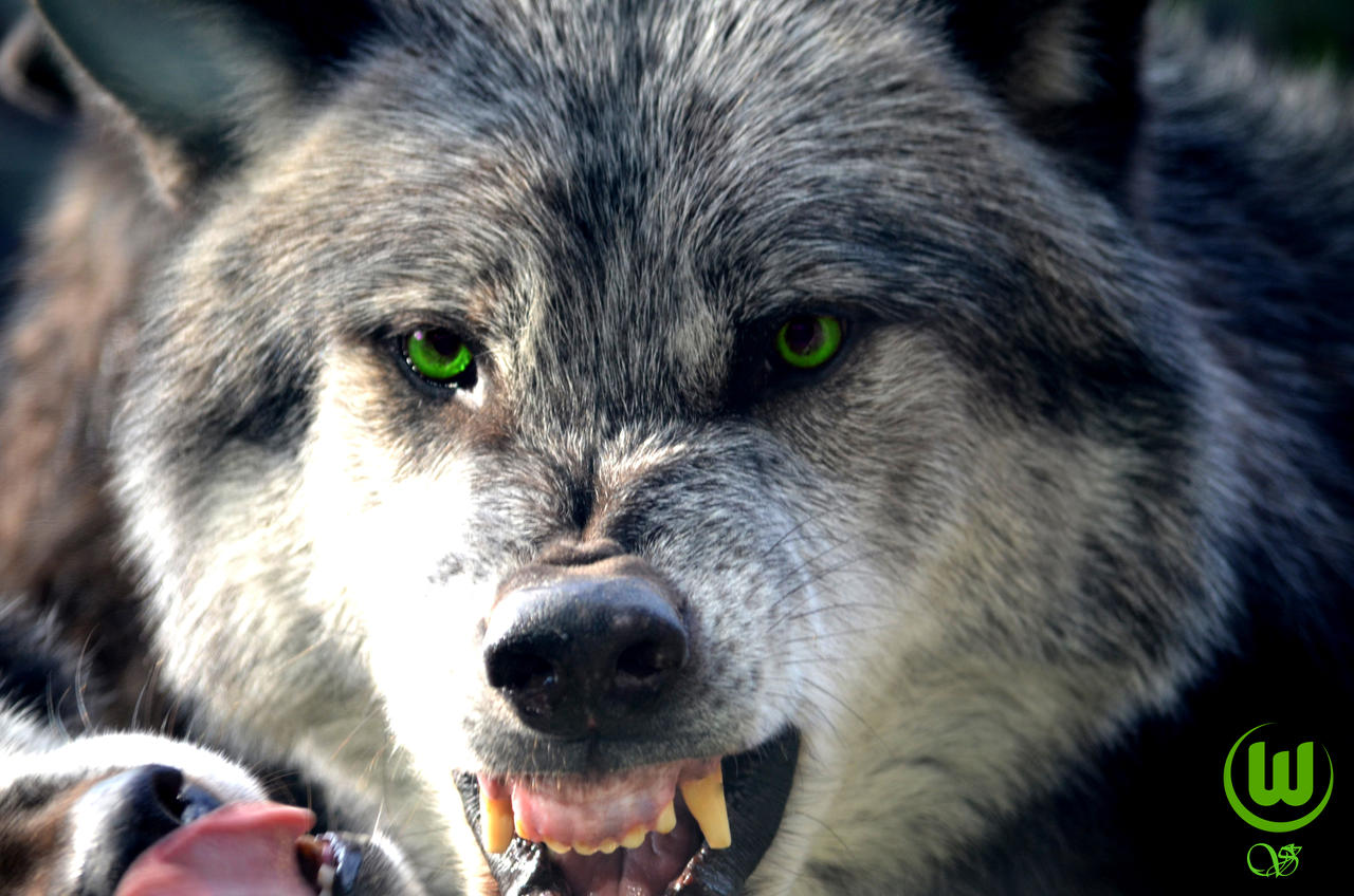 Angry Wolf by Himbeertraum on DeviantArt