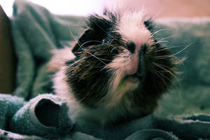Wise Old Pig by mini-hamu