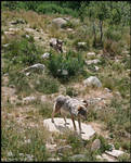 Langedrag Wolves
