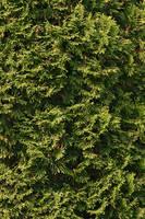 Conifer Texture by Kikariz-Stock