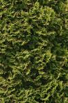 Conifer Texture