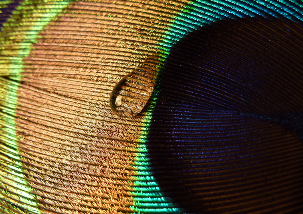Water drop on a peacock feather by hippomint