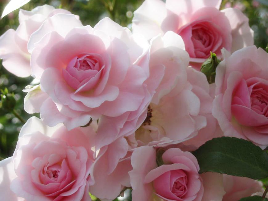 rosa by harakirimushi