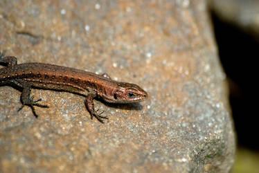 Lizard by thdf