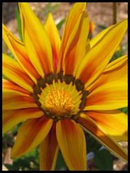 Gazania flower..