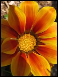 Another Gazania flower...