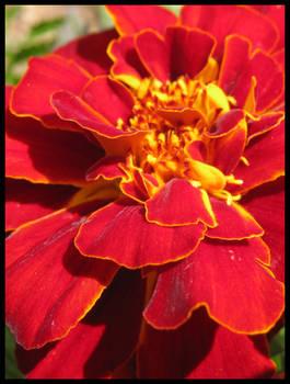 Marigold..