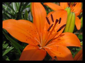 Tiger Lily..