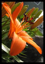 Tiger Lily....