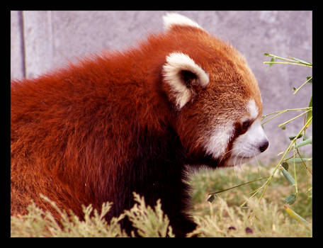 Red Panda..