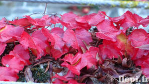 Autumn is... red !! by flepi