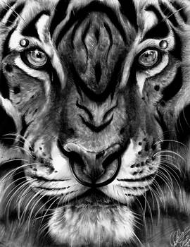 Tiger Close Up Study V2.0 - Traditional Charcoal