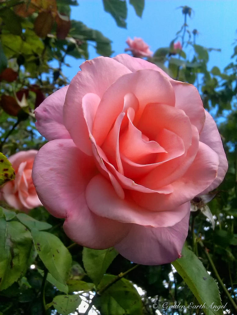 Peach-Pink Petals by GoldenEarthAngel
