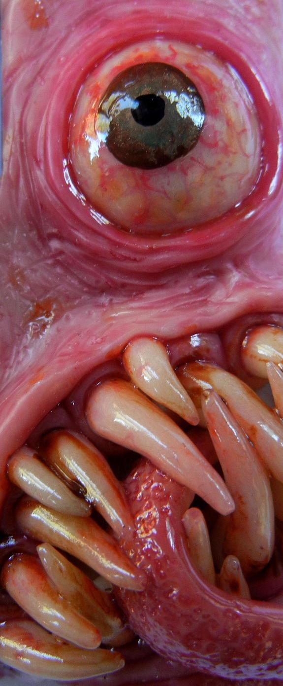 Toothy Von Eyescratch close up by dogzillalives