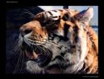 tiger tiger shining bright
