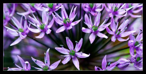 Allium explosion by LawrenceCornellPhoto