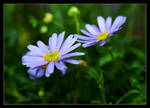 Miri's magic daisies