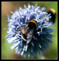Busy as a bee twiddly dee by LawrenceCornellPhoto