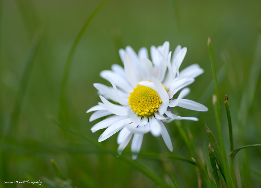 The bashful daisy by LordLJCornellPhotos