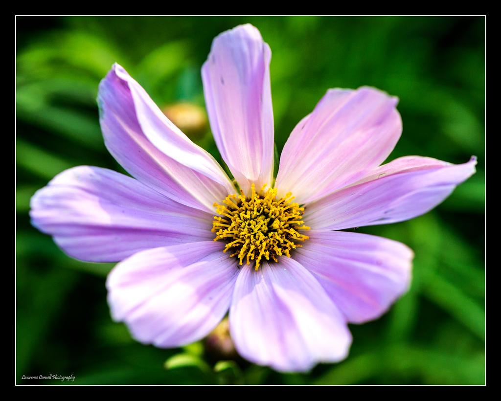 Pink Cosmos by LordLJCornellPhotos