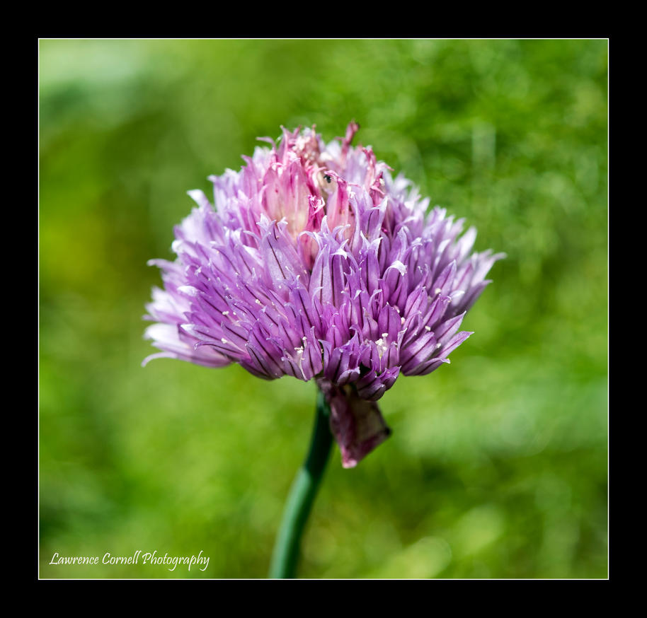 A cheeky chive by LordLJCornellPhotos