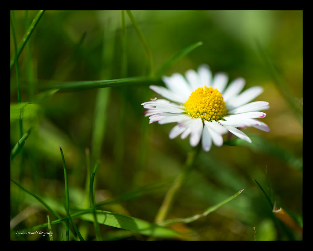 Dreaming of daisy by LordLJCornellPhotos